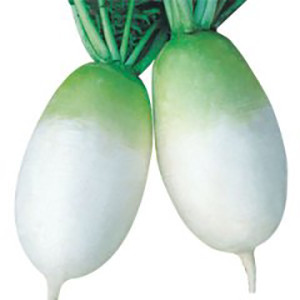 Radish Korean Alpine Gold- Asian Vegetable