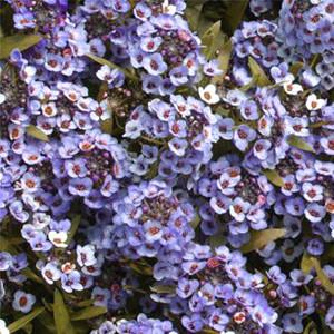 Wonderland Blue Alyssum Seeds