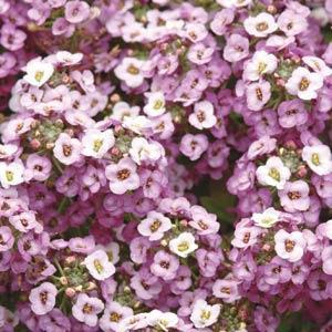 Clear Crystal Lavender Shades Alyssum Seeds