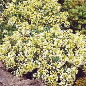 Aphrodite Lemon Alyssum Seeds