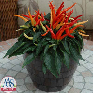 Chilly-Chili Ornamental Pepper