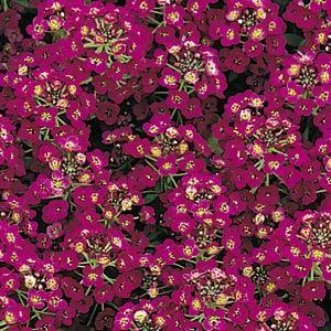 Easter Bonnet Violet Alyssum Seeds
