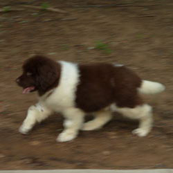 AKC Puppies for Sale