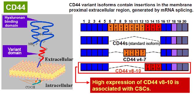 cac-cd44v-02-bix.png