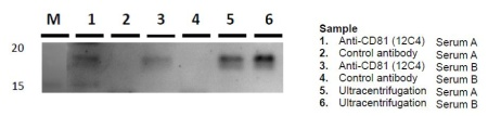 exosomecd81.jpg