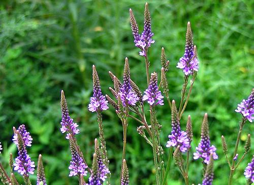 Blue Vervain Flower Essence