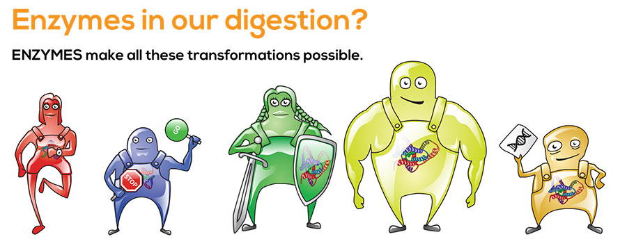 Enzymes in our digestion