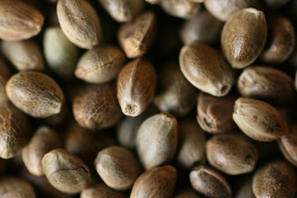 Toasted Hemp Seeds