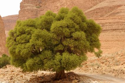 argan-tree.jpg